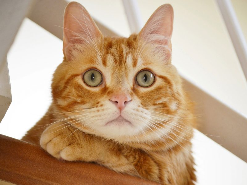 Полосатый рыжий кот смотрит на хозяина
