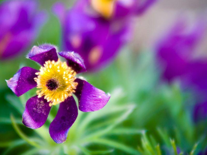 Зеленый, Цветы, Цветение, Макро, Фиолетовые цветы