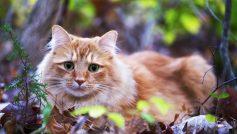 Обои взгляд, Трава, лежит, листья, глаза, кошка, рыжая