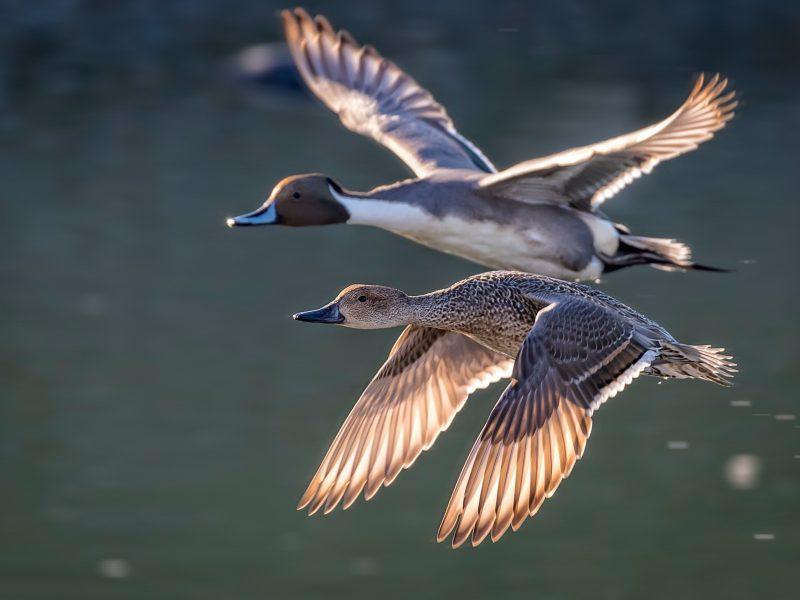 Обои утки, птица, пара, летят для рабочего стола