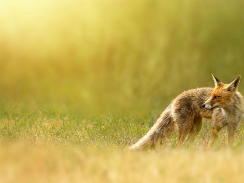 Лиса, травка, природа, лисица, рыжая