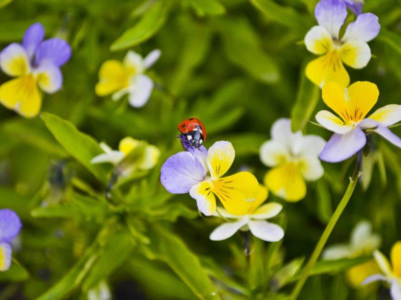 божья коровка, анютина глазки, жук, цветы, Макро