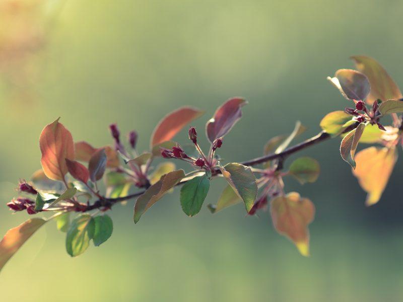 цветы, бутон, Весна, яблоня
