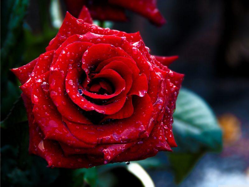 Красный цвет, Цветы, Макро, Розы