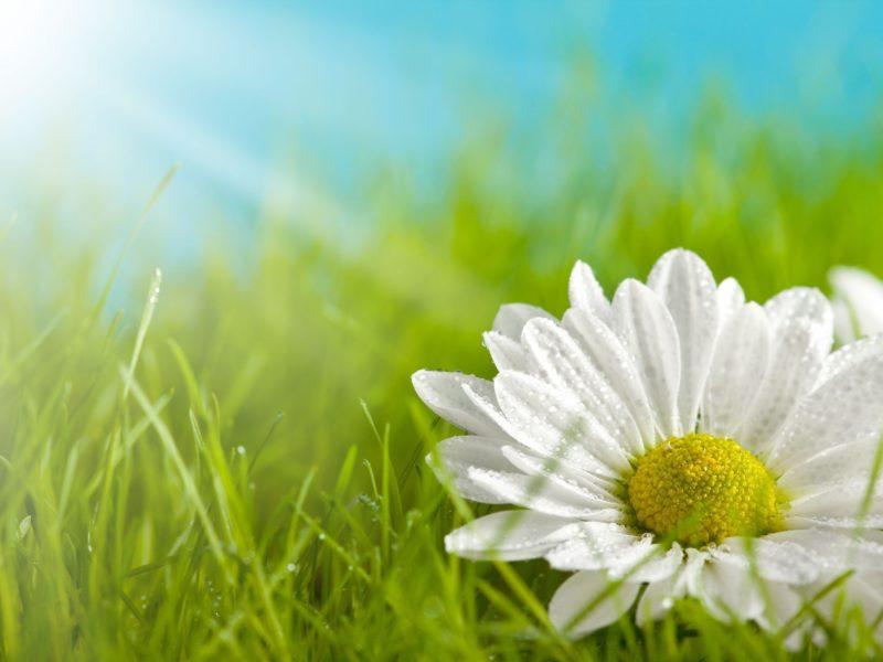Обои Цветы, белый, цветочек, желтый, лепестки, ромашка