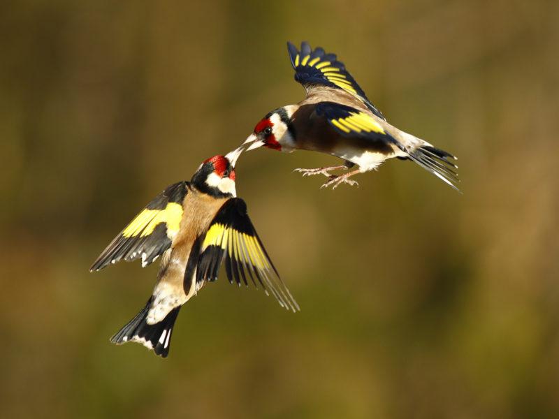 Обои щеглы, Птицы, в полете, две