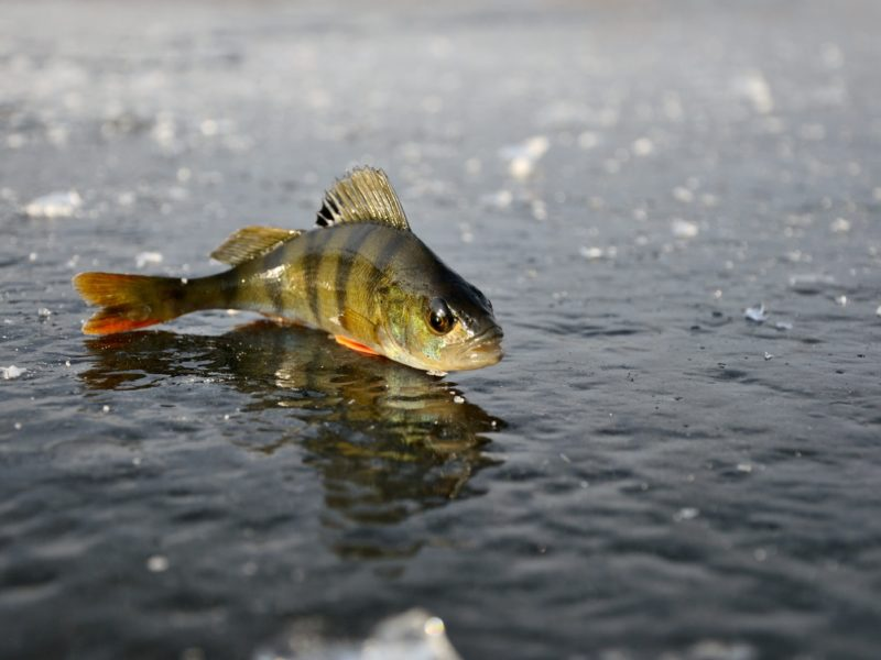 Обои окунь, лёд, рыбалка, зима, отражение на рабочий стол.