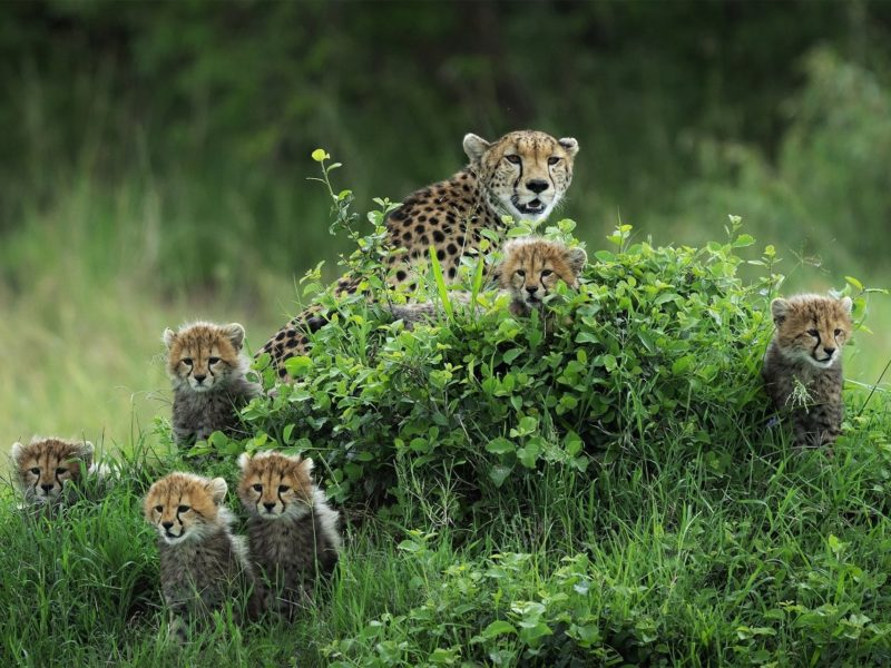 Обои гепард, Детеныши, куст, Животные на рабочий стол.