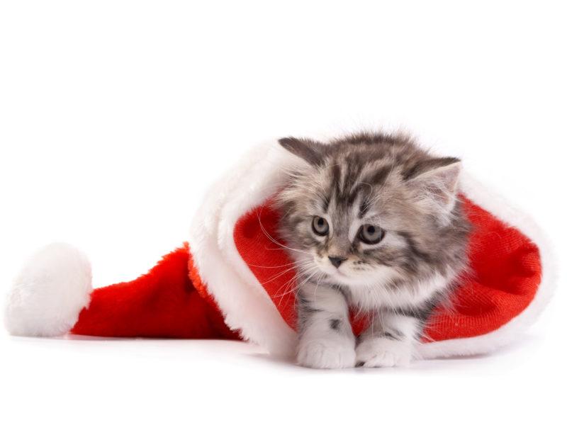 Christmas, рождество, новый год, кошка, santa hat, cat, new year