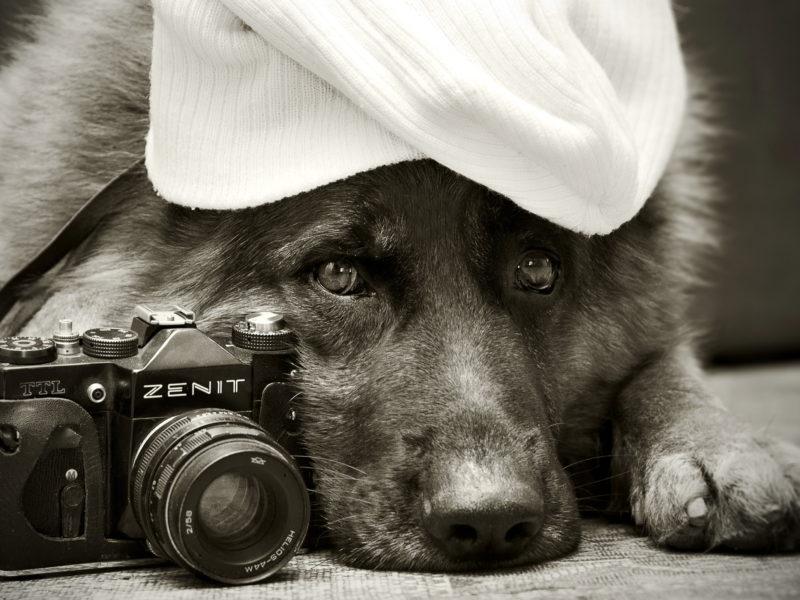 Немецкая овчарка, zenit, друг, собака