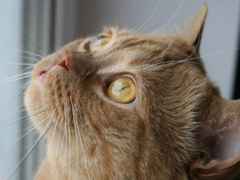 Желтоглазый рыжий кот