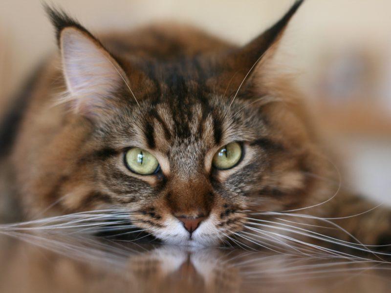 Большой серый кот с белыми усами крупным планом