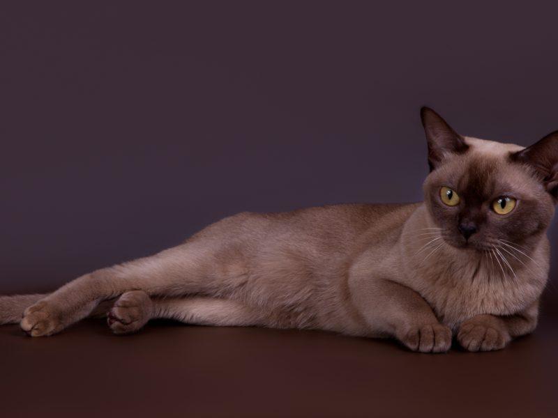 Породистый кот лежит на сером фоне