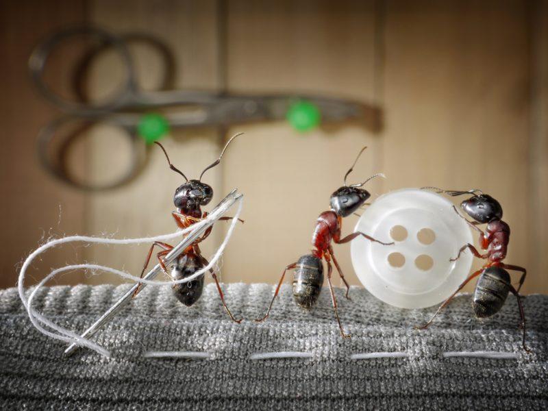 Три муравья пришивают пуговицу