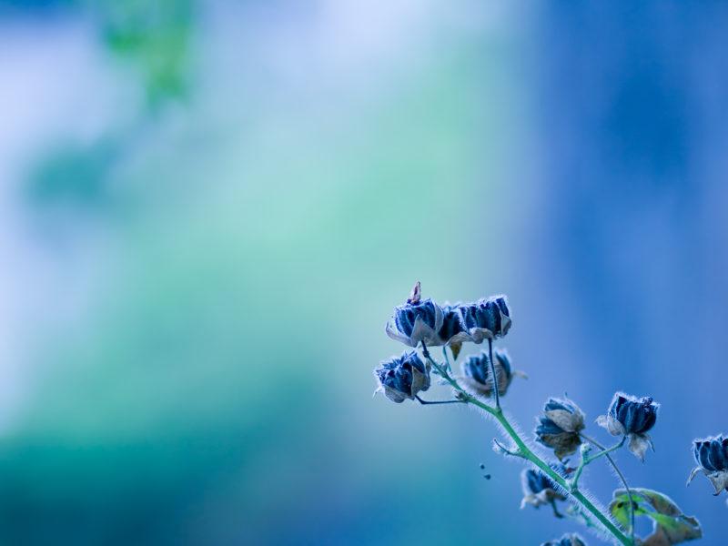 Природа, Цветы, Синие цветы, Размытым фоном