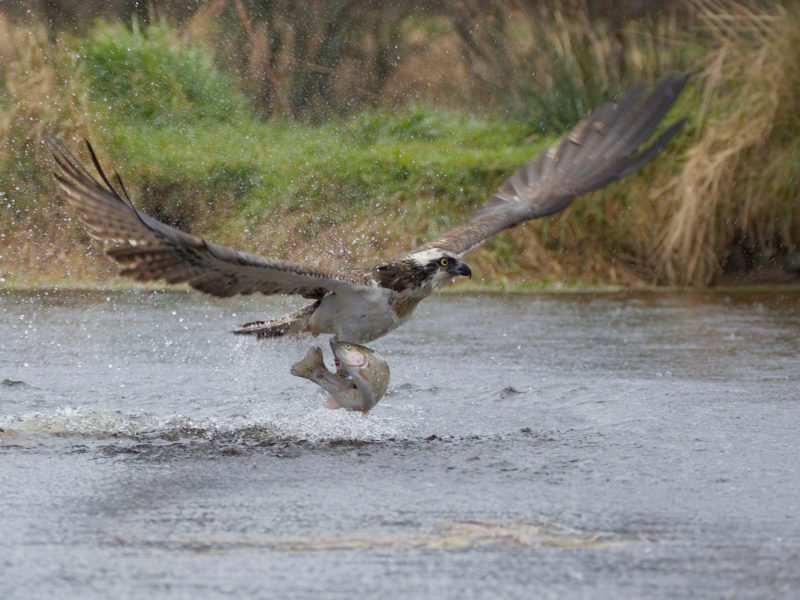 Обои рыба, улов, птица, хищник, взлёт, Take-off, брызги, скопа