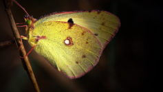 Обои крылья, росинки, Тростинка, капельки, желтая, бабочка