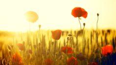Обои красный, цветочек, цветочки, цветочки, Цветы, мак, маки