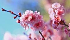 Обои цветы, Весна, фон, ветки, вишня, размытость