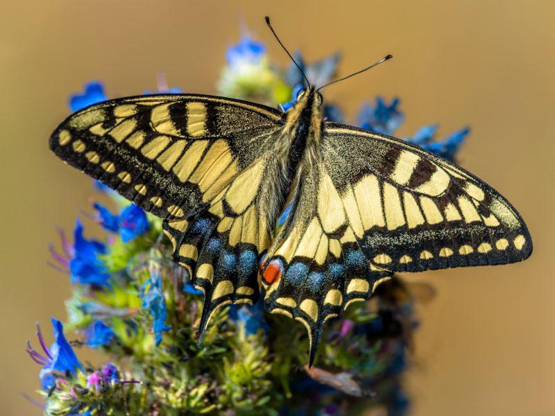 Обои Бабочка, Крупным планом, Papilio machaon на рабочий стол.