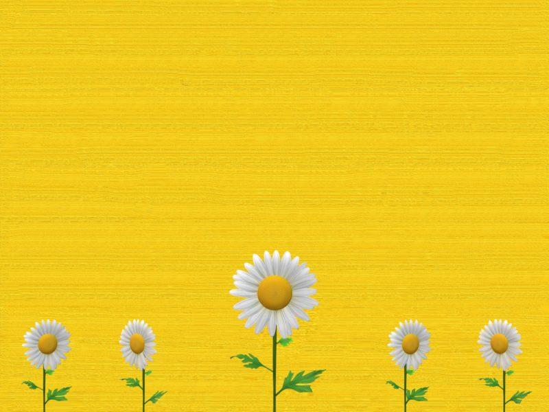 Обои цветы, маргаритки, фон на рабочий стол.