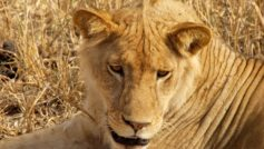 Животные, Львы