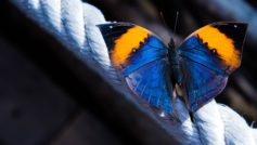 Обои макро, бабочка, верёвка, Каллима на рабочий стол.