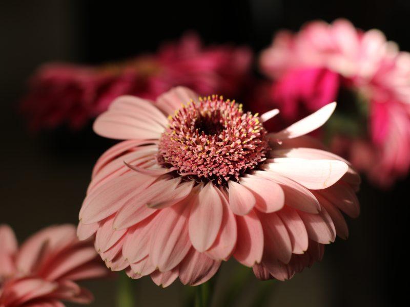 Обои Герберы, Размытый фон, Розовый, Цветы на рабочий стол.
