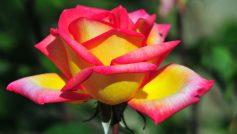 Природа, Цветы, Макро, Розы