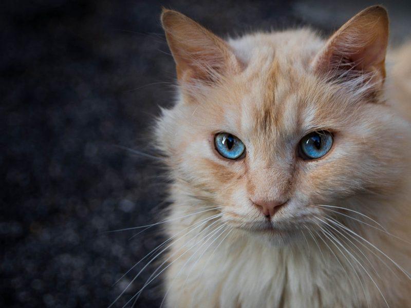 Морда рыжего голубоглазого кота крупным планом