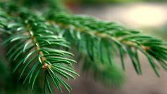 Природа, Деревья, Макро, Ель, Филиалы