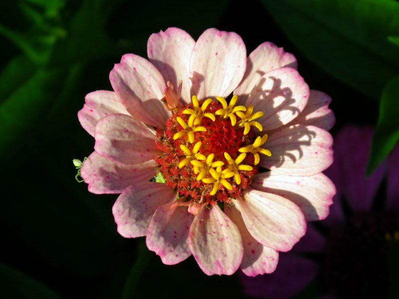 Обои Розовый, цветок, циннии на рабочий стол.