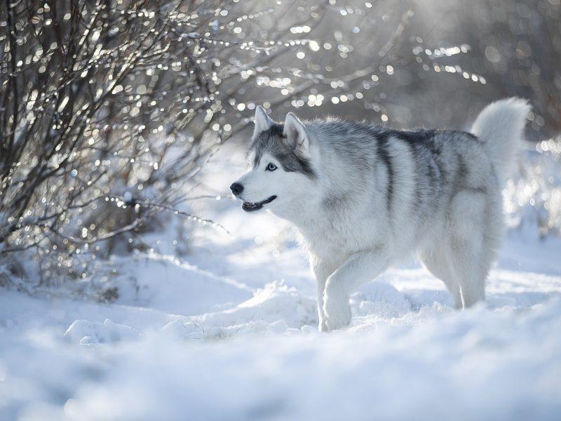 Обои зима, снег, собака, Хаски на рабочий стол.