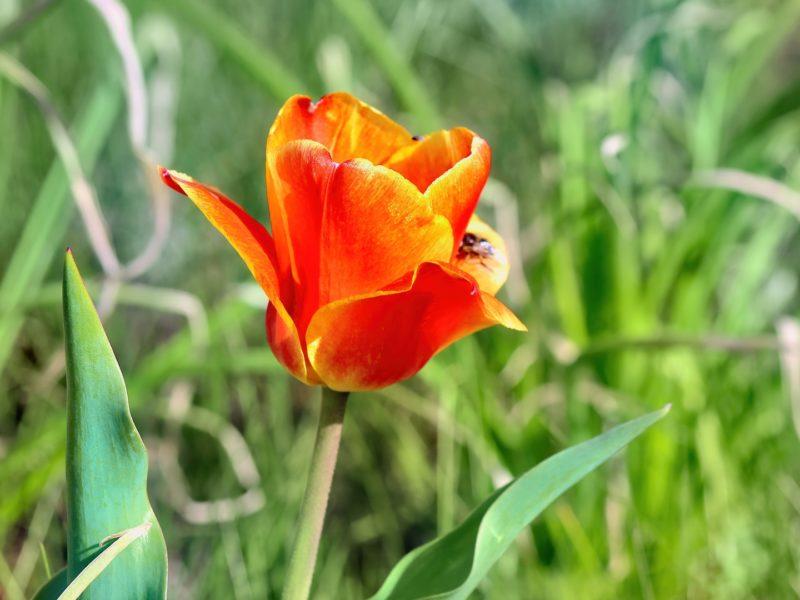 Обои тюльпан, пчела, трава для рабочего стола